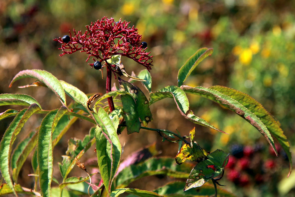 Sambucus ebulus, el saúco menor o yezgo.