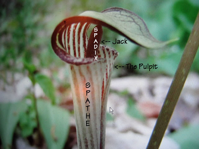 Jack In The Pulpit Plants How To Grow And Care For Your Jack In The
