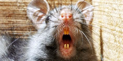 'Rats So Big The Cats Are Scared' Worry Englewood Neighbors   HuffPost