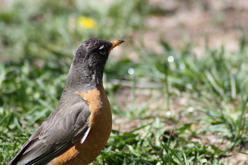 20090428_robins_worms_0030