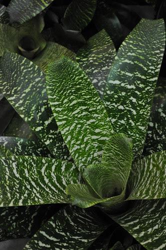Bromeliad Vriesea Hybrids (3)