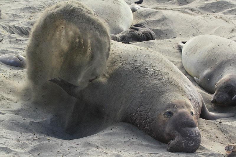 IMG_6046 Elephant Seal Bull Flipping Sand