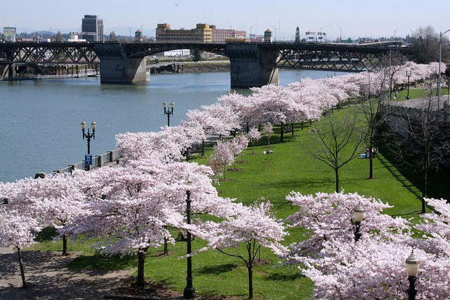 cherry trees, waterfront park