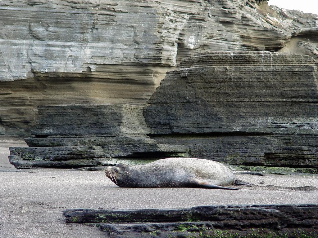 DSC00839 Galápagos sea lion