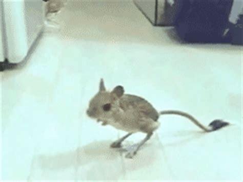 my gifs animals rodent gerbil jerboa cheesepizzapie ?