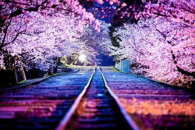 Οι ανθισμένες κερασιές της Ιαπωνίας είναι ένα μοναδικό θέαμα που πρέπει να δεις (3)
