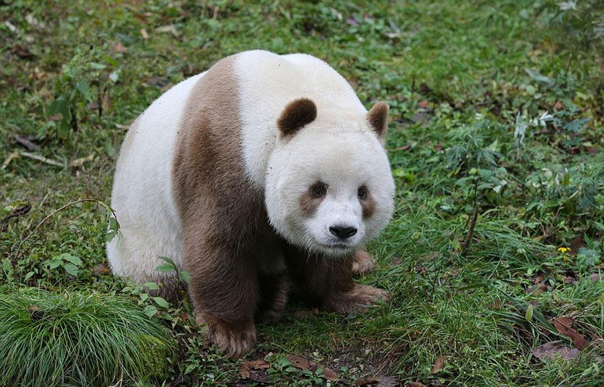 abandonou-brown-panda-qizai-4