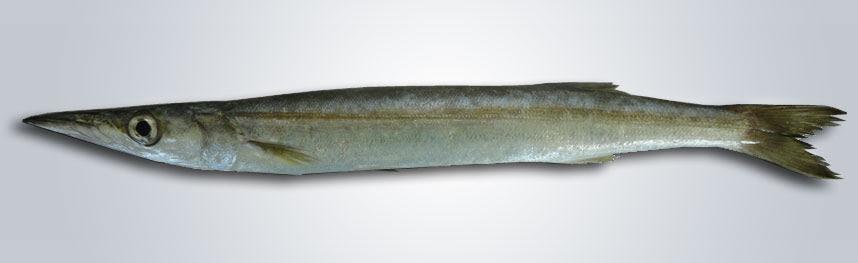 Resultado de imagen de Sphyraena sphyraena