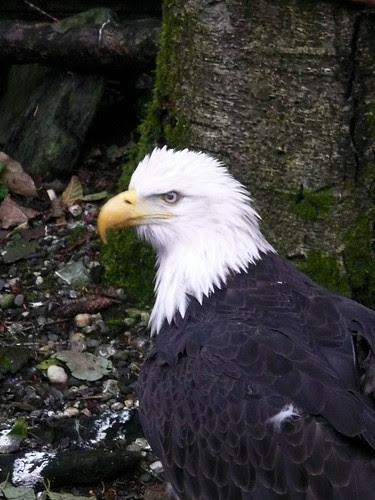 Alaskan  Eagle