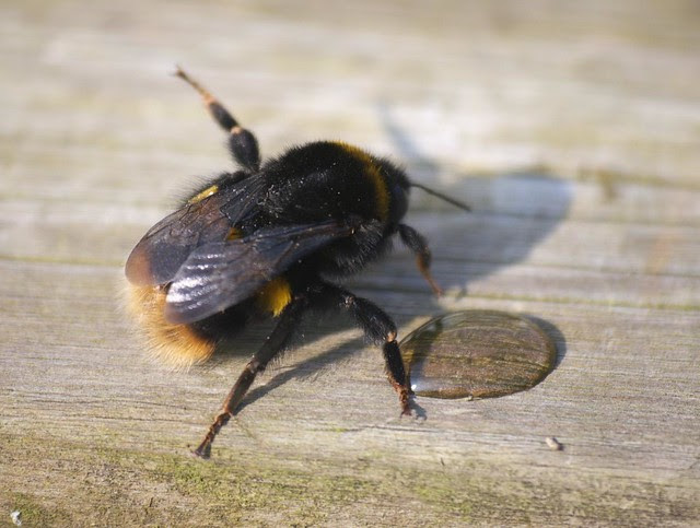 DSC_4277 Large Earth Humble Bee (Bombus Terrestris)