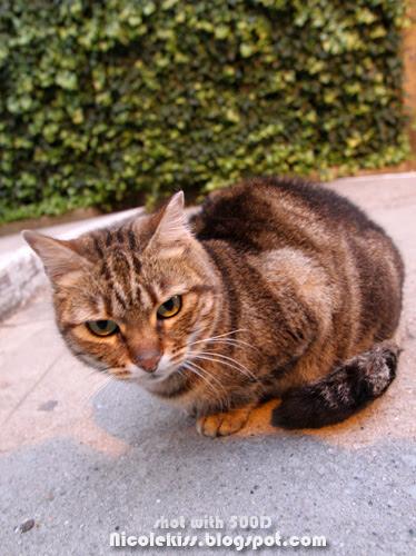 catalonian cat