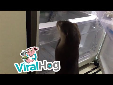 Hungry Otter Checks The Fridge For Food - Video