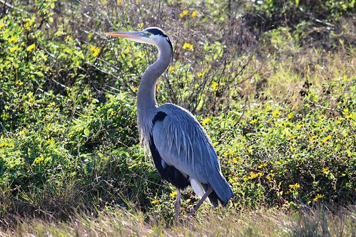 IMG_3723_Great_Blue_Heron
