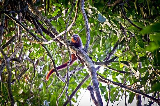 Novo zogue-zogue possui padrão de coloração de pelo diferente de todas as outras espécies similares