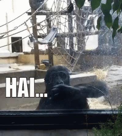 gorila hai gif gorila monyet hai discover share gifs
