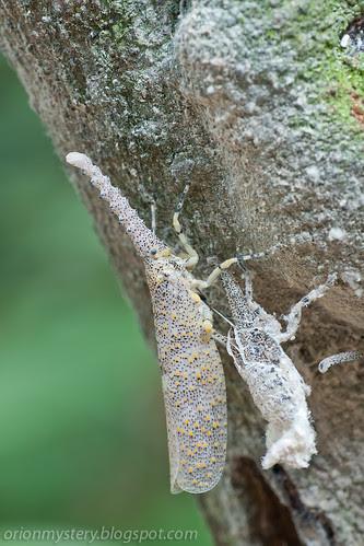 newly emerged adult Zanna sp. lantern bugs and its exuviae IMG_9726 copy