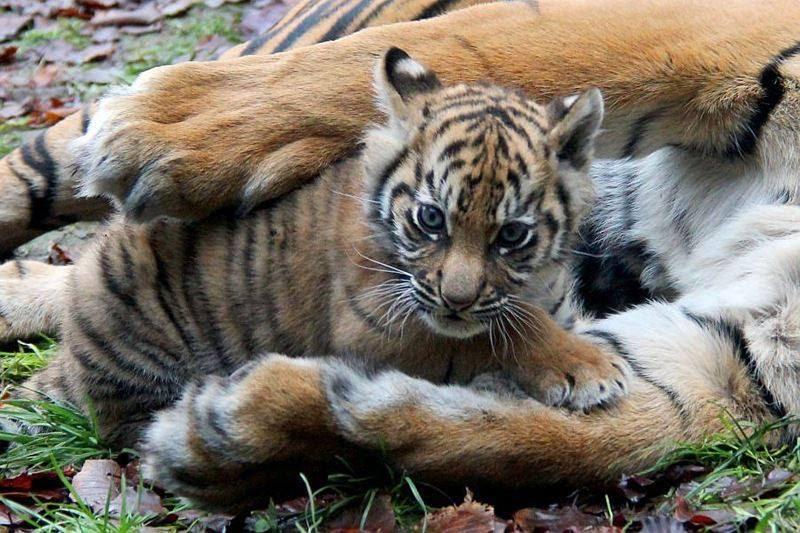 Cute Tiger Cute Baby Animals Tiger Cub Sumatran Tiger Zooborns Sumatran Tiger Cub Zooborns