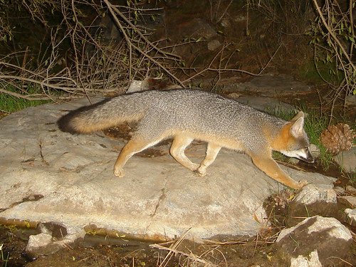gray fox strut