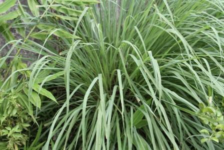 http://nimadesriandani.files.wordpress.com/2011/01/lemon-grass-sereh-dapur.jpg