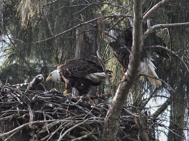 Bald Eagle female feeds as male preapare to fly 2-20140205