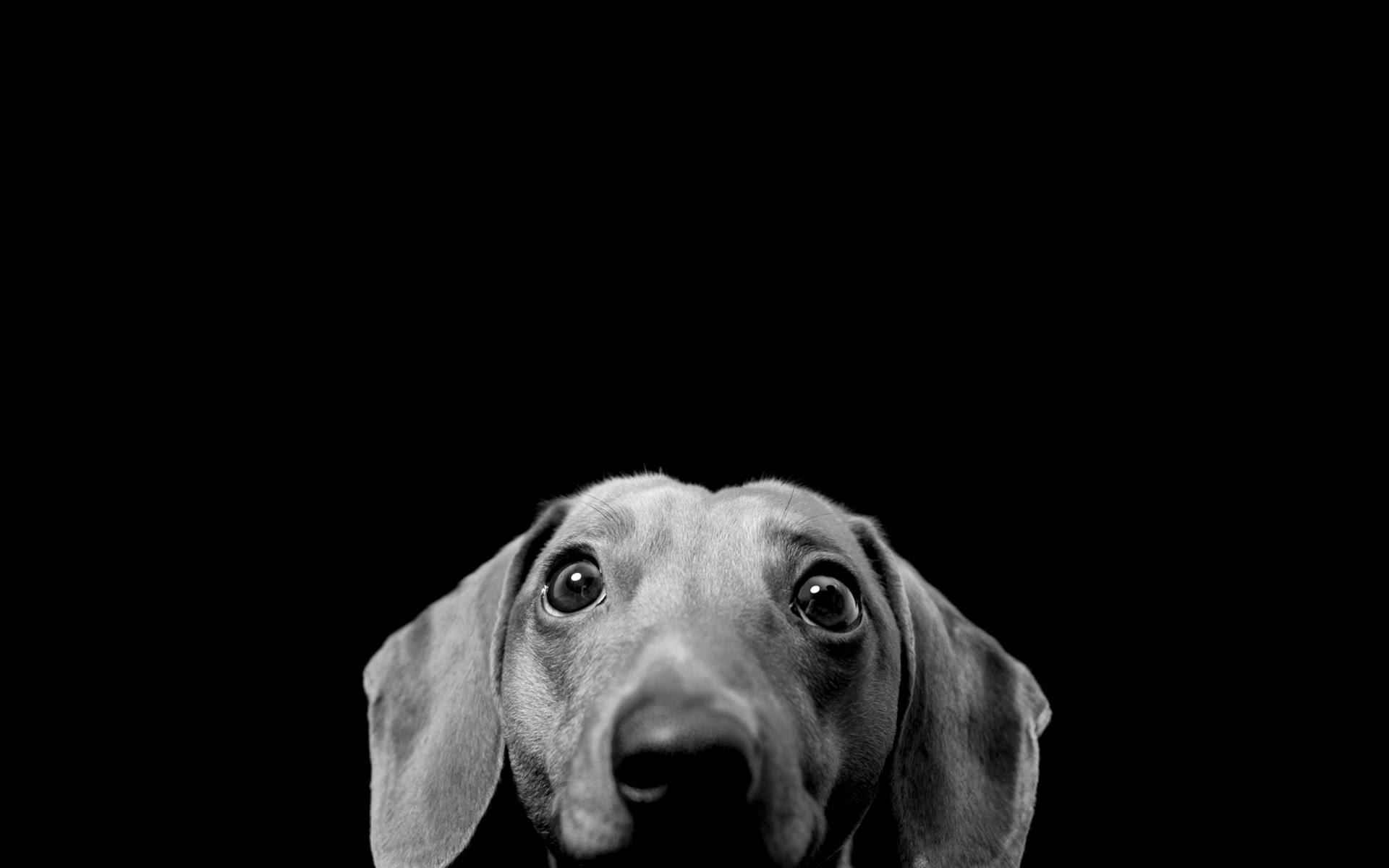 Unduh 300+ Wallpaper Black Dog HD Paling Keren