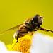 Syrphidae vasker seg
