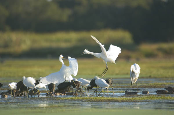 Oyster Restoration and Birds