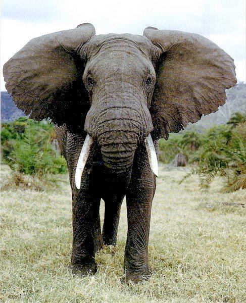 http://bioweb.uwlax.edu/bio203/s2007/shah_rach/AfricanElephant111.jpg
