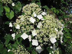 Köynnöshortensia (Hydrangea anomala subsp. petiolaris).jpg