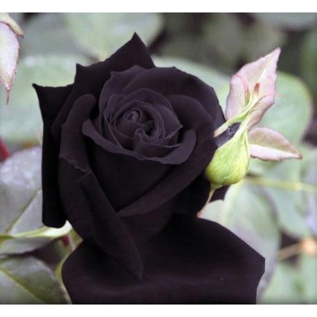 Black Rose Seeds Buy Black Rose Seeds Online The Black Rose
