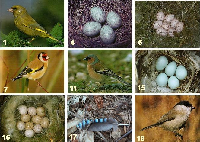 vogel bild heimische vogelarten eier