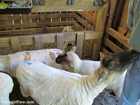 Sheep working Monday (5) - FarmgirlFare.com