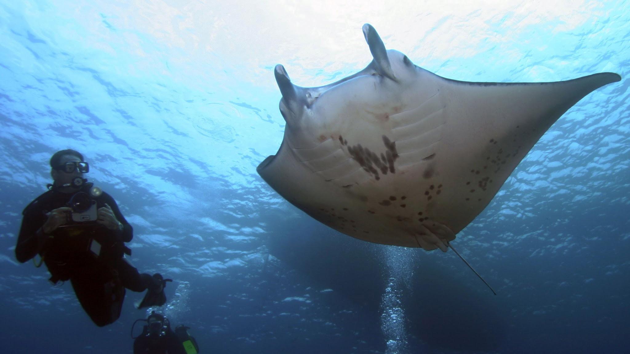 Image result for la reunion manta ray