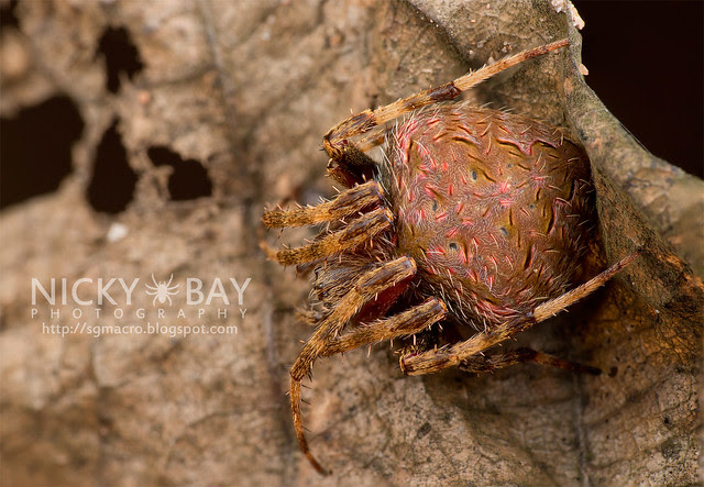 Orb Web Spider (Araneidae) - DSC_7362