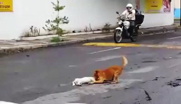 The moment when a dog tried to revive its friend who had been killed in a car accident has been caught on camera