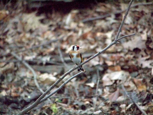 Ed Gaillard: recent &emdash; European Goldfinch, Central Park