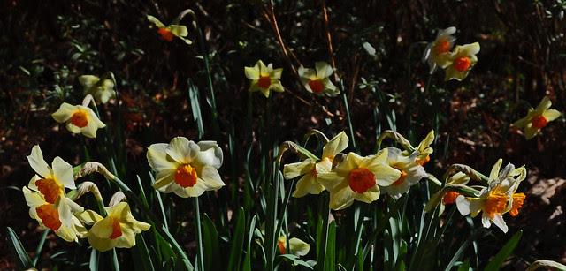 Narcissus Wednesday (6)