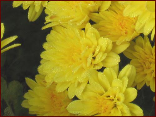 07 dew on petals