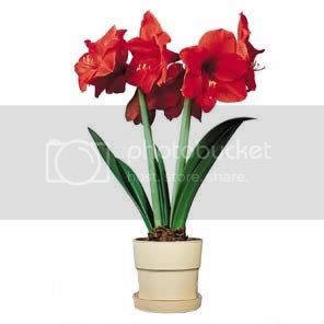 amaryllis Pictures, Images and Photos