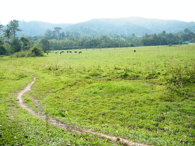 grasslands in Periyar Tiger Reserve, Thekkady, Kerala