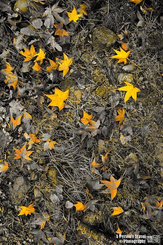 染黃的楓葉
