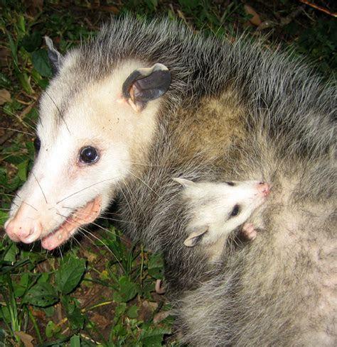 Opossum Trapping Photos   Orlando, Florida