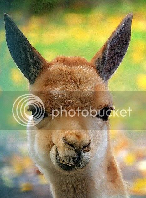 The Pet Blog Llama Smile