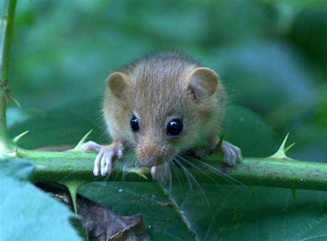 Muridae   Old World mice and rats, gerbils   Wildlife Journal Junior
