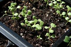 escarole seedlings