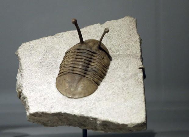 Exibição no Museu Americano de História Natural permite que os visitantes vejam 15 fósseis de várias espécies de trilobitas da coleção da instituição. Os trilobitas eram animais invertebrados que tiveram o seu auge no período Cambriano, entre 542 e 488 milhões de anos atrás, de acordo com o próprio museu (Foto: Mary Altaffer/AP)