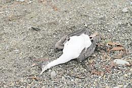 Preocupa aparición de cormoranes muertos en el  sector costero