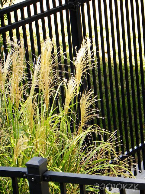 DSCN6890 Zebra Grass