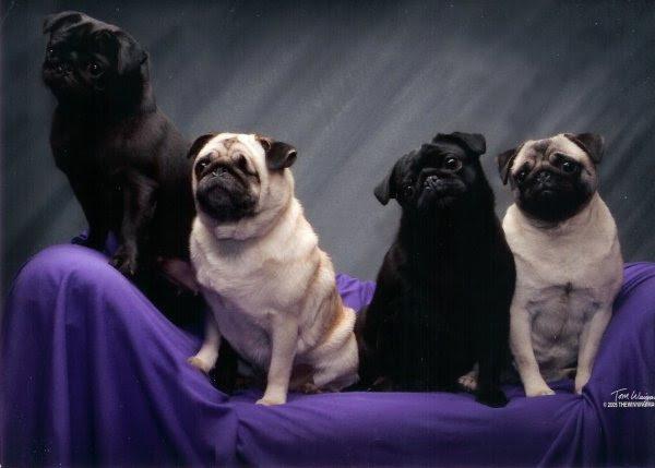 Pugs Top Dog Breeds