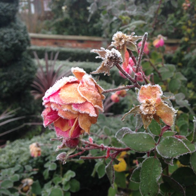 Frosted rose.